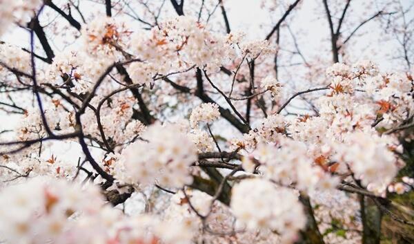 花見 英語で 説明